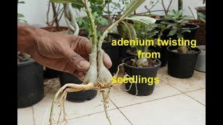 how to twist two spread root adenium  seedlings & give amazing look ?
