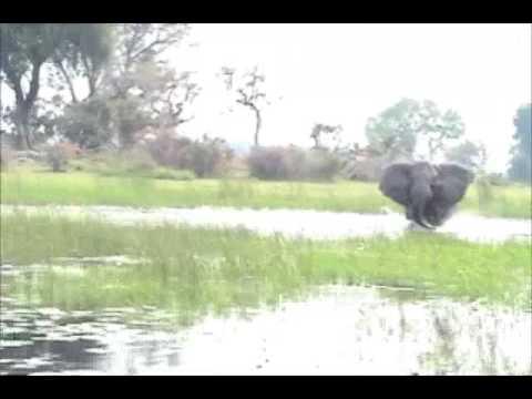Elephant Charge - Botswana