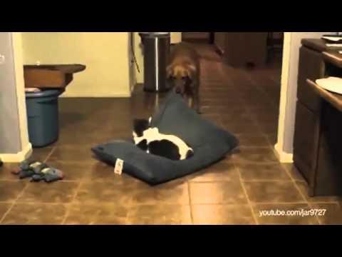 A Reação dos cachorros ao encontrarem gatos dormindo em suas camas.