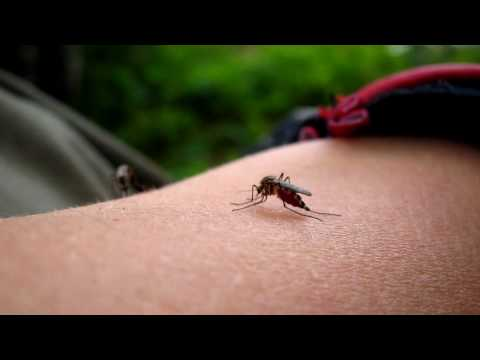 Mosquitos bites and suck blood in HD (macro)