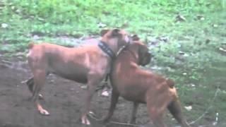 Bulldog Lovers American Bulldog Vs Boxer Pitbull