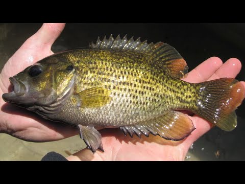 Rock Bass Catch and Cook! Creek Fishing for Food