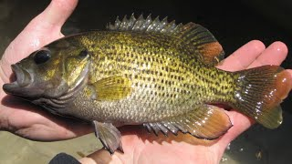 Rock Bass Catch and Cook Creek Fishing for Food