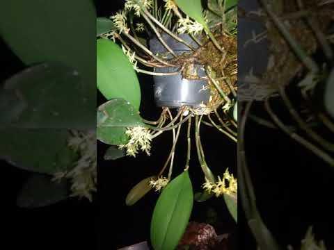 Acianthera obovata