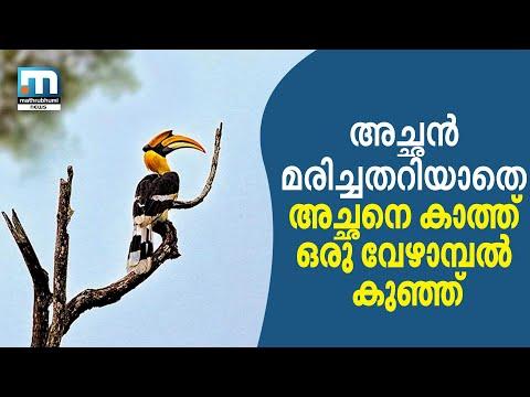 Hornbill Hit By Vehicle; Bird Lovers Feed Female, Birdling | Mathrubhumi News
