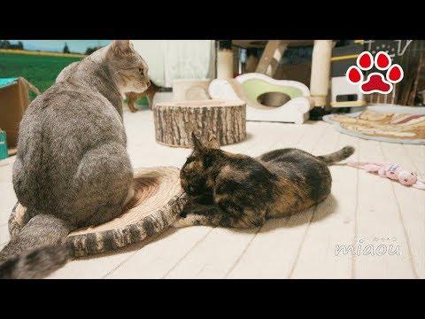 先住猫もお手上げ!強すぎる仔猫【瀬戸のらな日記】Even Senior cats gave up  Strongest kitten