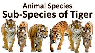 Tiger Species (sub) | Living and Extinct Tiger species (sub)