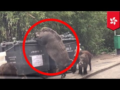 Giant boar 'Pigzilla' caught rummaging through trash dumpsters in Hong Kong - TomoNews
