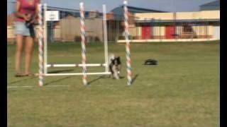 Agility Papillon Dog (spirit) Weaving 12 Poles At 11 Months
