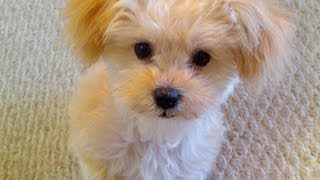 Maltipoo Afraid Of Other Dogs At Doggy Daycamp