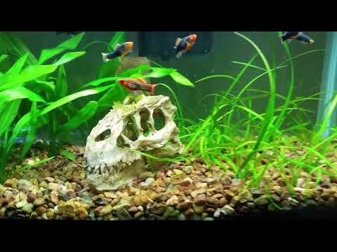 Xiphophorus Variatus (red-tail Black) In A Planted 10 Gallon