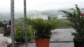 Höher wachsende Wacholdersorten - Resistent gegen Birnengitterrost