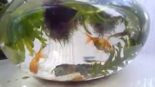 100均の金魚鉢で! thumbnail