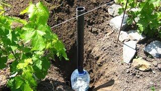 Виноград.  Поливка под корень