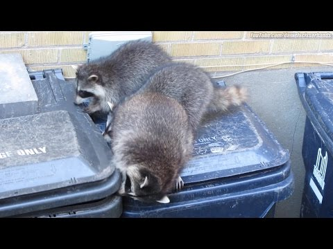 3 raccoons team up for daytime garbage bin raid. Toronto. July, 2015