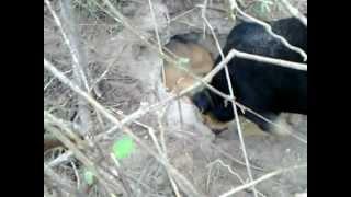 Caçada De Tatu   Cadela Beagle Com Foxhound Americano