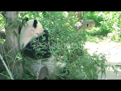 ULTRA HD 4K REAL TIME SHOTGIANT PANDA BEAR EATING BAMBOO VKIM1GQSE