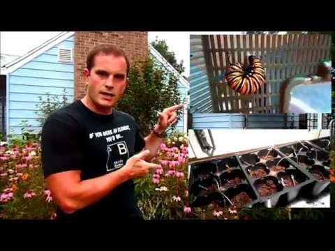 Raising Monarchs - Encouraged Egg Laying (How To Have Monarch Butterflies Lay Eggs)