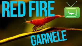 RED FIRE SAKURA GARNELE | PORTRAIT | GarnelenTv