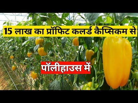 Colourd Capsicum In Polyhouse For High Profit
