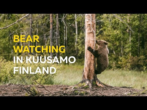 Bear Watching In Kuusamo Finland