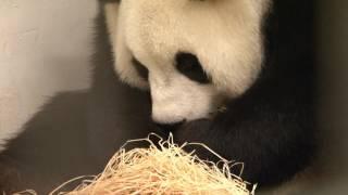 بالفيديو.. باندا عملاقة من فصيلة نادرة تنجب مولودها الأول