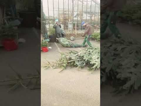 Bodhi - Guy Dives Through Christmas Tree Wrapper (Video)