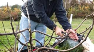 Pruning fig trees for winter storage