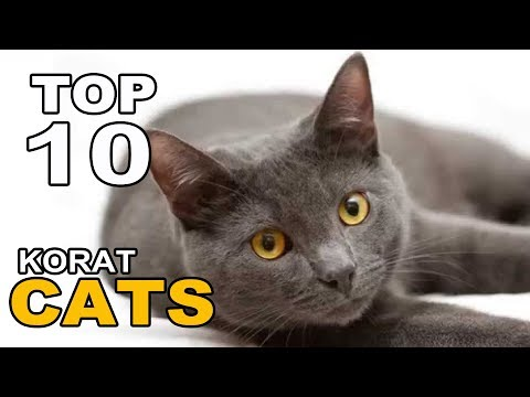 TOP 10 KORAT CATS BREEDS
