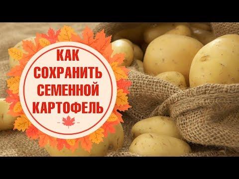 Семенной картофель ✅ Обработка перед хранением ✅ Условия хранения в погребе