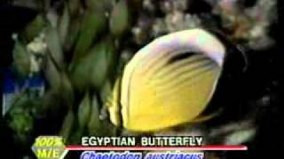 egyptian butterfly