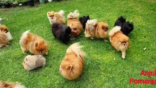 Pomeranian puppies playing in the garden  Anjula Pomeranians Toy Poms