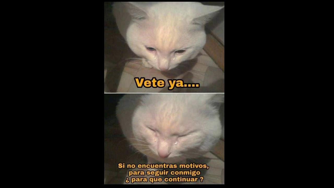 Memes De Gatos Xd Youtube