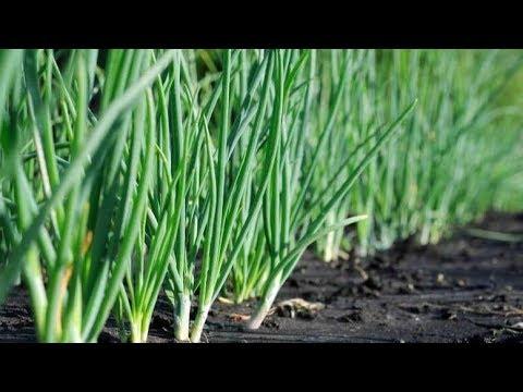 Советы агронома: возделывание лука батуна
