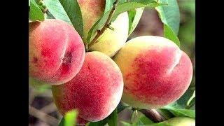 видео Как сохранить яблоки до следующего урожая