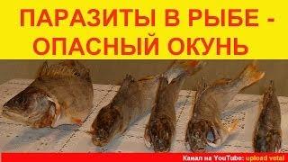 Паразиты в рыбе - ОПАСНЫЙ ОКУНЬ.