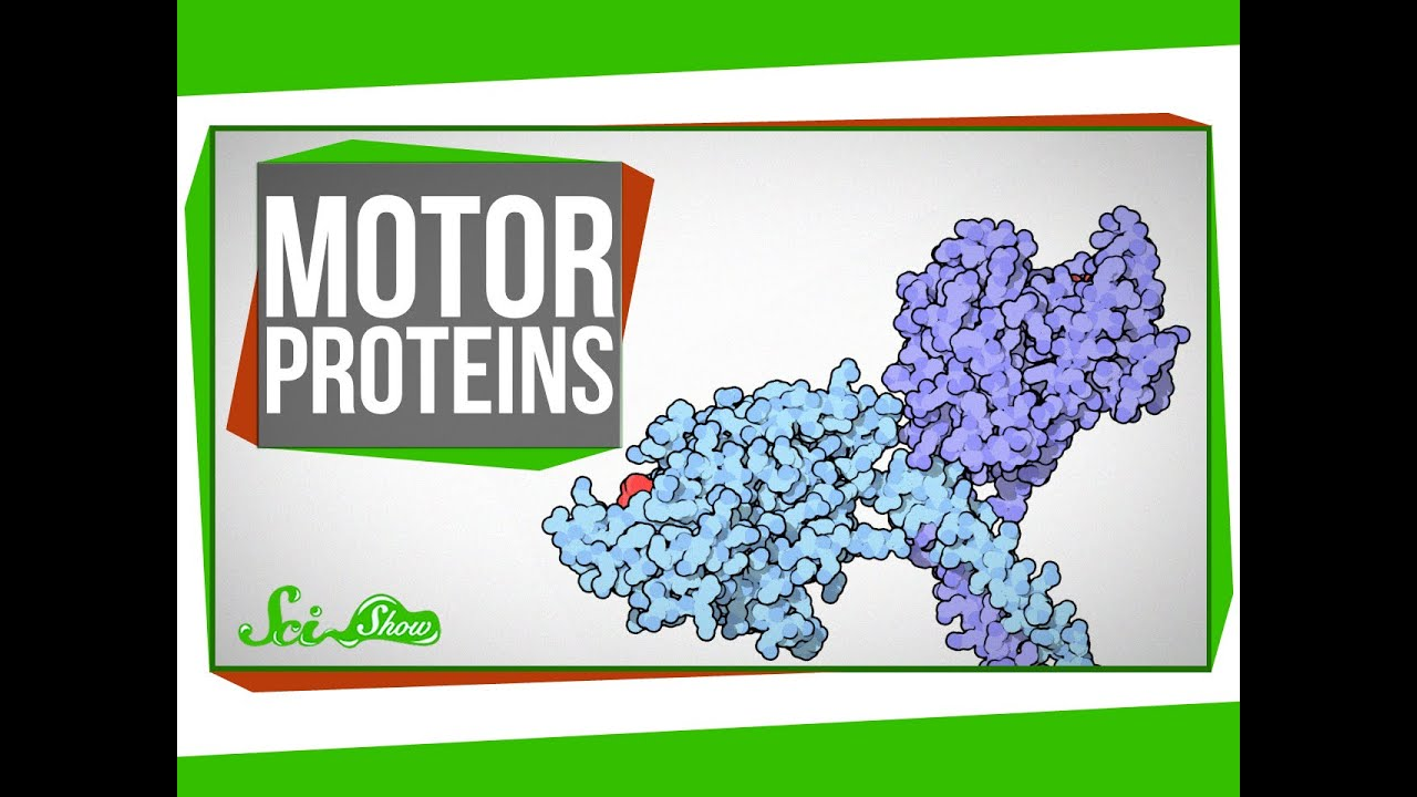 Motor Proteins Tiny Pirates In Your Cells Youtube