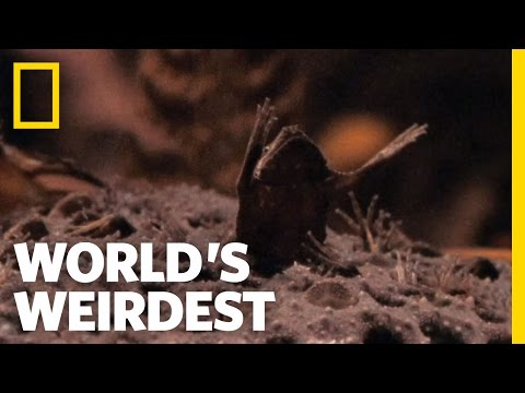 Baby Toads Born From Mom S Back World S Weirdest Youtube