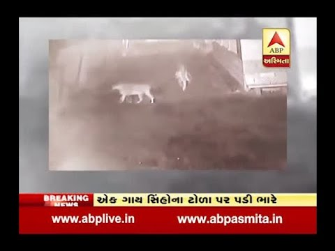 Cow Threaten To 12 Lions In Dhari Of Amreli District