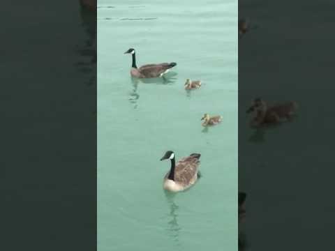 Geese at nwu lagoon