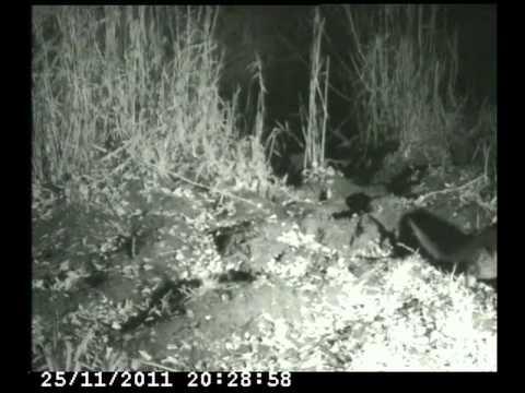 Otters At Radipole Lake, November 2011