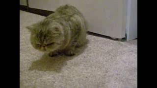 DSCN2948 экзотическая короткошерстная кошка
