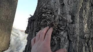 Тополь бальзамический как определить пол какие брать  ветви на черенки