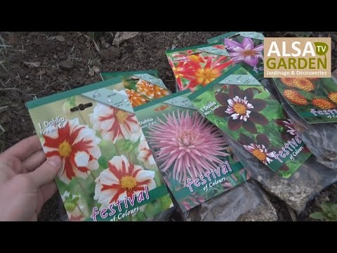 how to plant and grow dahlia tubers - alsagarden - youtube