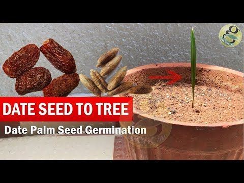 Date Seed Germination | How to Grow Date Palm tree from Seed | Date Palm plant time lapse