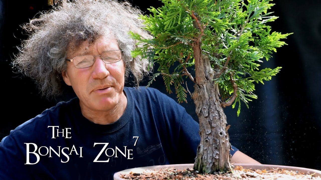 Pruning My Large Cedar And My Austrian Pine Bonsai The Bonsai Zone June 2020 Youtube