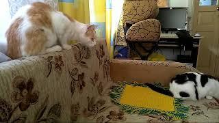 Коты и робот-пылесос. Первое знакомство
