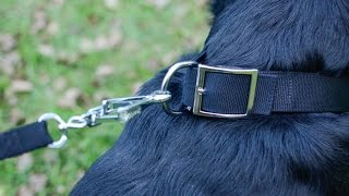 Rottweiler In Multipurpose Handmade Dog Collar Made Of Quality Materials