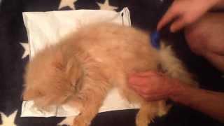 Кот Нафан зажигает. Стрижка кота(Furminator Фурминатор для уменьшения линьки у кошек и собак Стрижка кошек и котов. Фурминаторы для кошек и собак..., 2014-02-16T17:20:59.000Z)