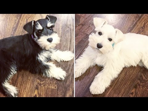2 ADORABLE Miniature Schnauzer Puppies Playing - Lexi and Charlie